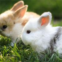 Giáo án mầm non đề tài: Những chú thỏ