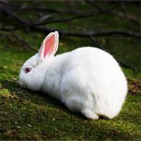Giáo án mầm non đề tài: Chú thỏ con