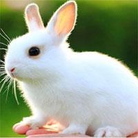 Giáo án mầm non đề tài: Nếu là thỏ cho xem tai