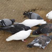 Giáo án Sinh học 7 bài Thực hành quan sát bộ xương, mẫu mổ chim bồ câu
