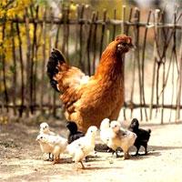 Giáo án mầm non đề tài: Gia đình nhà gà