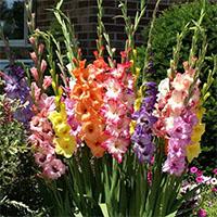 Cách cắm hoa lay ơn tươi lâu trong dịp Tết
