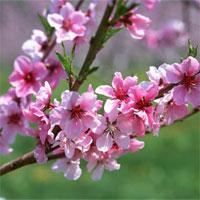 Giáo án mầm non đề tài: Qua cầu xem hội hoa xuân