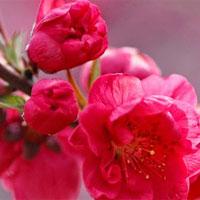 Giáo án mầm non đề tài: Trồng hoa ngày tết