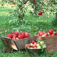 Giáo án nhà trẻ đề tài Kể chuyện cây táo