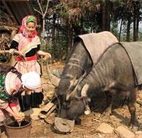 Biện pháp phòng chống rét cho trâu bò hiệu quả nhất