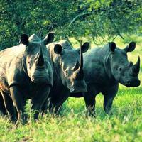 Học tiếng Anh qua tin: Thế giới chỉ còn ba con tê giác trắng phương Bắc