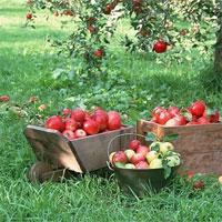 Giáo án mầm non đề tài: Quả táo của ai?