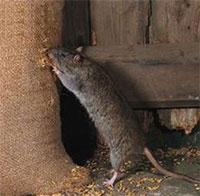 Bí quyết đuổi chuột cực kỳ hiệu quả