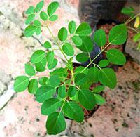 Kỹ thuật trồng cây chùm ngây tại nhà