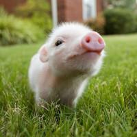 Đố bạn tìm đúng màu da của 6 em lợn xinh xắn này!