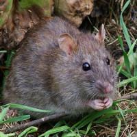 """Cách làm bẫy chuột """"bách phát bách trúng"""" vô cùng đơn giản"""