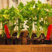 Mẹo tái sinh các loại rau trong căn bếp nhà bạn