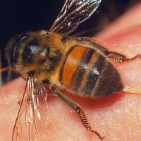 Cách xử lý vết thương khi bị côn trùng cắn