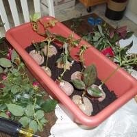 Cách trồng hoa hồng tại nhà bằng khoai tây
