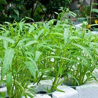 Cách trồng rau muống sạch trong thùng xốp tại nhà