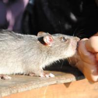 Nguy cơ mắc bệnh truyền nhiễm khi bị chuột cắn