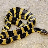 Cách nhận biết những loài rắn độc nhất Việt Nam