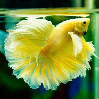 Những loài cá cảnh dễ nuôi nhất