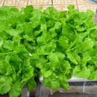 Cách trồng rau xà lách tại nhà