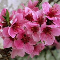 Văn mẫu lớp 9: Thuyết minh về cây hoa đào