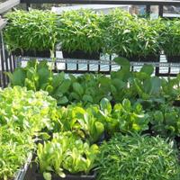Văn mẫu lớp 4: Tả về vườn rau nhà em
