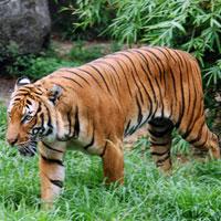 Văn mẫu lớp 4: Tả con hổ trong sở thú
