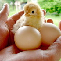 Cách tự chế máy ấp trứng