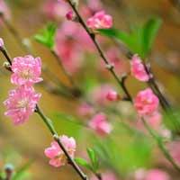 Lập dàn ý tả cây hoa đào hoặc hoa mai ngày Tết