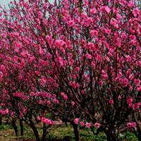 Văn mẫu lớp 8: Thuyết minh về cây hoa đào