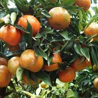 Tả cây ăn quả lớp 4 Hay Chọn Lọc
