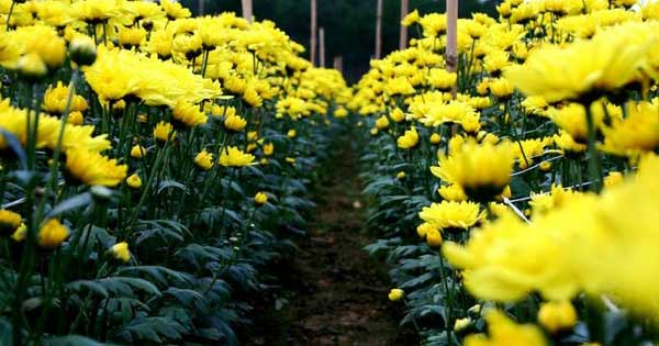 Dàn ý tả hoa cúc