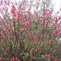 Tả cây hoa đào ngày Tết