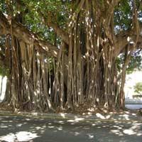 Văn mẫu lớp 5: Tả cây đa cổ thụ làng em