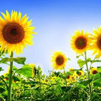 Lập dàn ý tả cây hoa hướng dương