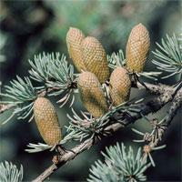 Trắc nghiệm Sinh học 6 bài 40: Hạt trần - Cây thông