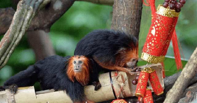 Tả con khỉ lớp 4