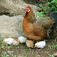 Tả con gà mái Hay Chọn Lọc