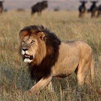 Tranh tô màu hình con sư tử
