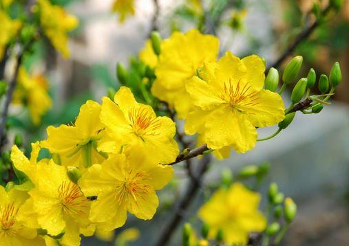 Tả cây hoa mai ngày Tết