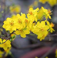 Cách chăm sóc hoa mai nở đúng Tết