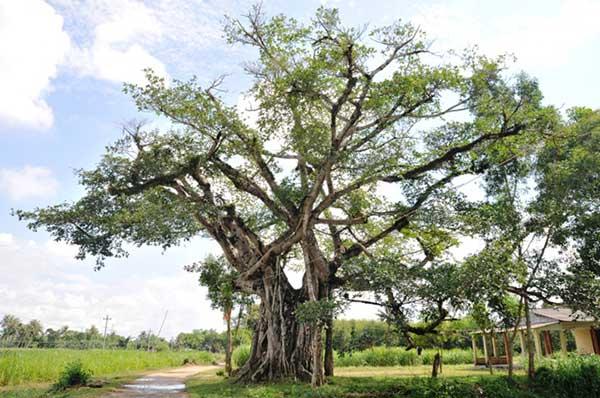 Tả cây đa cổ thụ