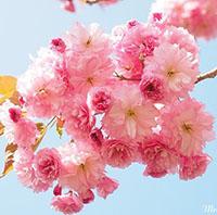 Ý nghĩa tên Hoa