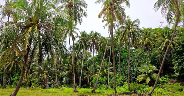 Tả cây dừa ở quê em lớp 4